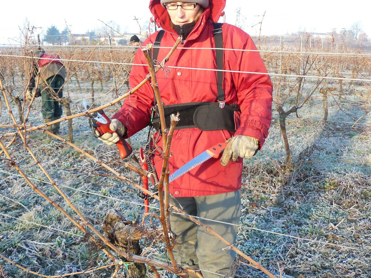 La taille de la vigne une op ration longue qui d termine for Taille de l abricotier