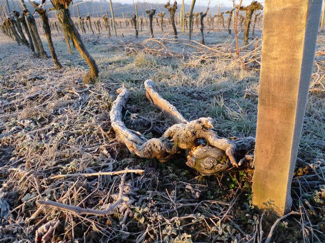 Ceps de vigne morts