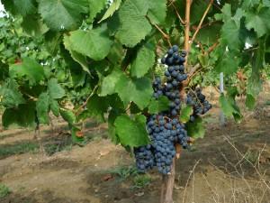 Jeune vigne de cépage malbec destinée à produire des vins de Bordeaux