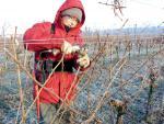 La taille de la vigne : une opération longue qui détermine la future récolte et la pérennité de la vigne