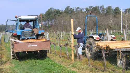 Apr s la taille avant que la vigne ne pousse le - Quand faut il tailler la vigne ...