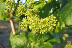 Fleur de vigne