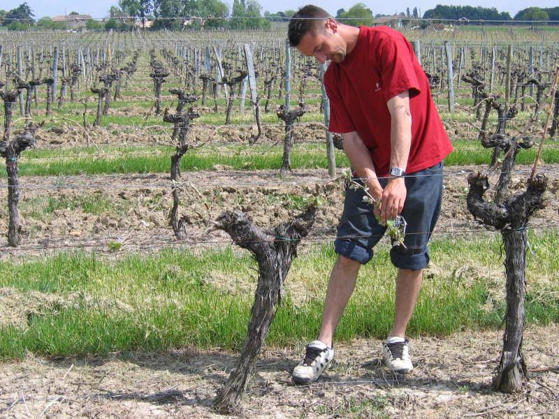 Au printemps, pliage des astes d'une parcelle de vigne